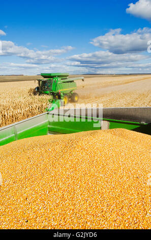 harvested feed/grain corn in back a grain wagon combine harvester in background during harvest near Niverville Manitoba - Stock Photo