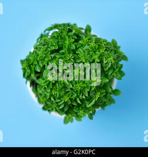high-angle shot of a green bush basil plant in a white ceramic plant pot on a blue background - Stock Photo