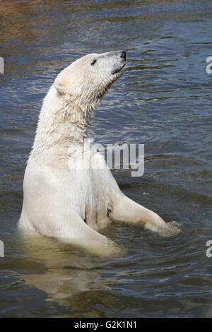 Polar bear in the water - Stock Photo