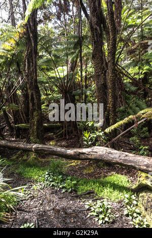 Rain forest around Thurston Lava Tube, Big Island, Hawaii - Stock Photo
