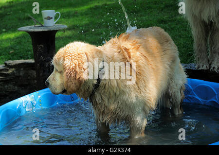 English Golden retriever playing in summer swimming pool. - Stock Photo