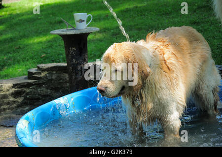 English Golden Retriever playing in summer kids swimming pool. - Stock Photo