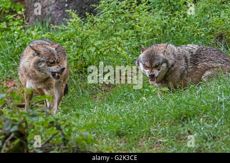 Two aggressive gray wolves / grey wolves (Canis lupus) snarling with bared canines and extended tongue - Stock Photo