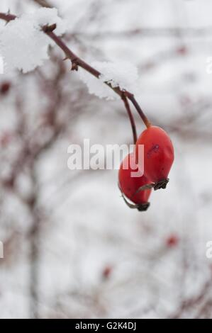 The red rose-hip berries covered with snow in a cold winter day. Vertical photo - Stock Photo