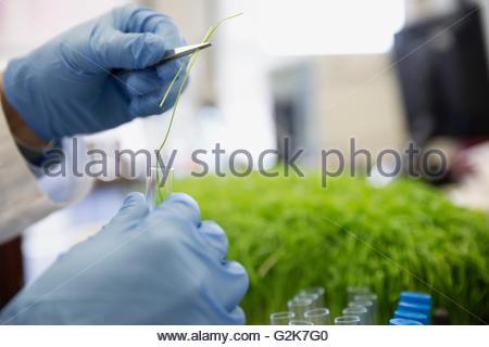 Close up scientist examining GMO sprout - Stock Photo