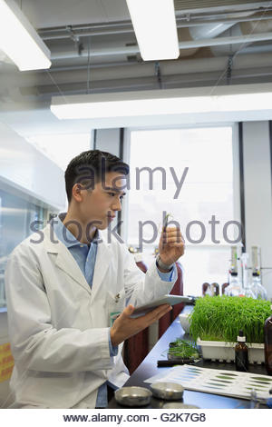 Scientist with digital tablet examining GMO plants in laboratory - Stock Photo