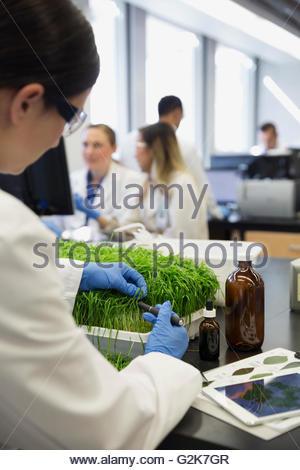 Scientist examining GMO plants in laboratory - Stock Photo