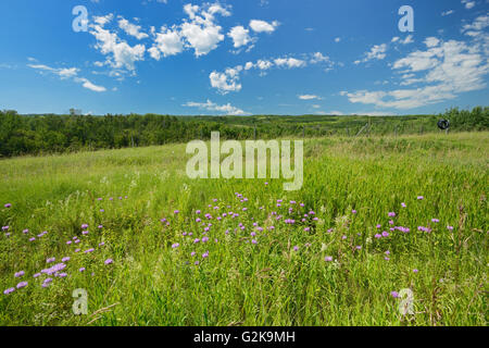 Wild bergamot or bee balm (Monarda fistulosa) flowers on the prairie of the Saskatoon Trail  Near Battleford Saskatchewan - Stock Photo