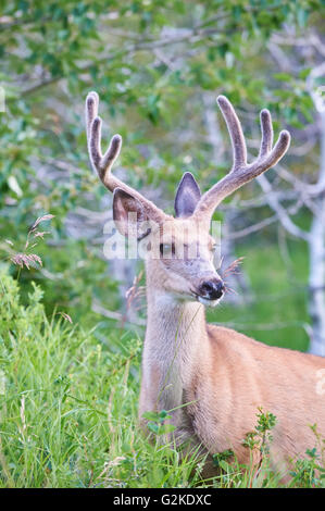 Mule Deer Buck, odocoileus hemionus in the Tall Grass, Velvet Antlers, Waterton Lakes National Park, Alberta, Canada - Stock Photo