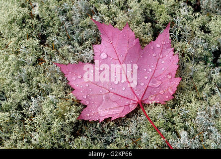 Rain drops on red maple leaves (Acer rubrum) on lichens Near Sioux Narrows Ontario Canada - Stock Photo
