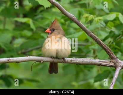 Female northern cardinal perched on a branch, (Cardinalis cardinalis), Kerrville, TX, USA - Stock Photo