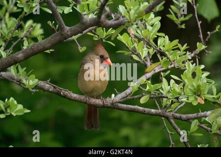 Female northern cardinal perched on a leafy branch, (Cardinalis cardinalis), Kerrville, TX, USA - Stock Photo