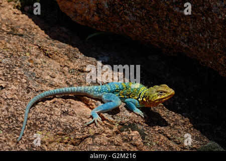 A bright turqouise Mountain Boomer (Collared Lizard) in the rocks of the Wichita Mountains in SW Oklahoma. - Stock Photo