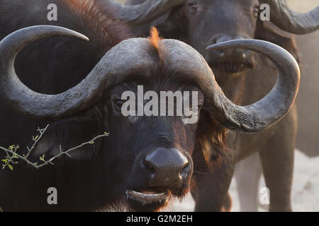 Buffalo in chobe national park - Stock Photo