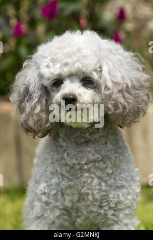 silver poodle - Stock Photo