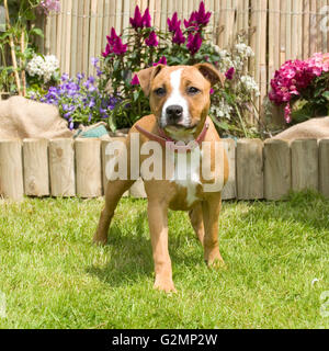 staffordshire bull terrier puppy - Stock Photo
