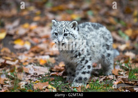 Snow leopard (Uncia uncia) cub, captive - Stock Photo