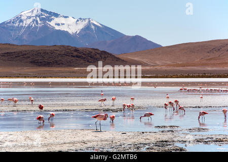 Laguna Hedionda with James's flamingos (Phoenicoparrus jamesi) in shallow water, near Uyuni, Lipez, Bolivia - Stock Photo
