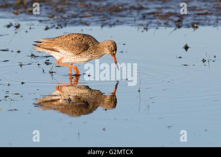 Common redshank (Tringa totanus) wading in water, foraging, Texel, North Holland, Netherlands - Stock Photo