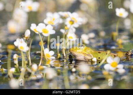 Edible frog (Pelophylax kl. esculentus) in pond amongst white water-crowfoot (Ranunculus aquatilis), Hesse, Germany - Stock Photo