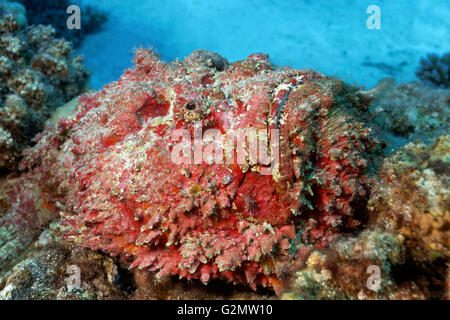 Real stonefish (Synanceia verrucosa), camouflaged amongst corals, Great Barrier Reef, Queensland, Cairns, Pacific - Stock Photo