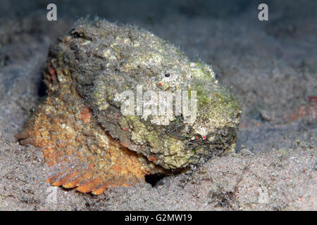 Real stonefish (Synanceia verrucosa), camouflaged against coral, Great Barrier Reef, Queensland, Cairns, Pacific - Stock Photo
