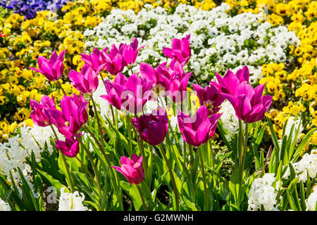 Colourful multi-colored flower bed with tulips in the foreground in the park on a sunny day - Stock Photo