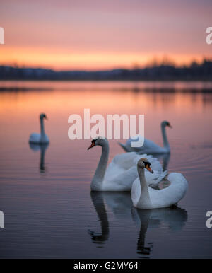 Group of swans on the lake with a mirror reflection during the beautiful sunset. - Stock Photo