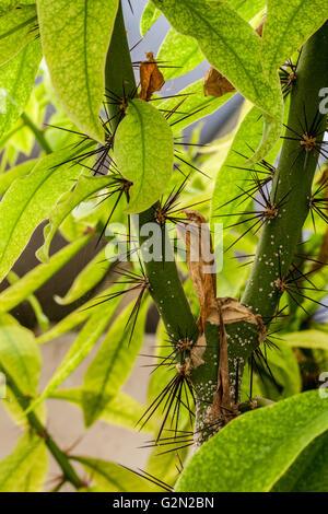 Pereskia grandifolia - Stock Photo