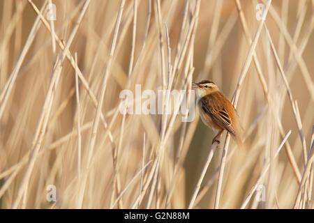 Sedge Warbler (Acrocephalus schoenobaenus) in reed, the Netherlands - Stock Photo