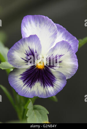 Single purple and white pansy flower growing in a garden - Stock Photo