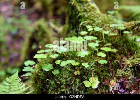Wood Sorrel in moss on tree in the forest. Oxalis acetosella. Selective focus - Stock Photo
