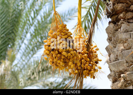 Cluster of dates hanging from a date palm slowly ripening - Stock Photo