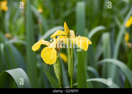 Iris pseudacorus. Yellow flag iris. - Stock Photo