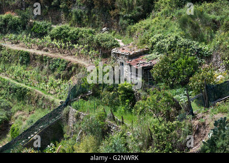 viticultural terraces above Riomaggiore near La Spezia (Liguria) - Stock Photo