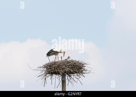 Storks on the nest - Stock Photo