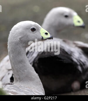 Cape Barren goose Cereopsis novaehollandiae resident in southern Australia. - Stock Photo