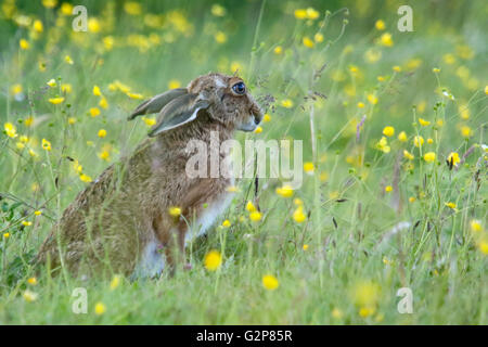 European Brown hare 'Lepus europaeus' grazing in a meadow, England, UK - Stock Photo