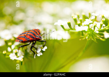 Graphosoma lineatum also known as the Italian Striped-Bug and Minstrel Bug. - Stock Photo