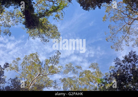 Looking up to the blue sky through the towering tall trees of an Australian temperate rain forest (rainforest) canopy - Stock Photo