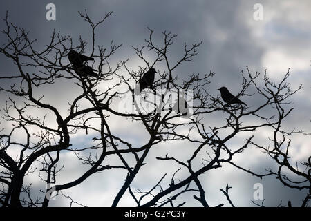 Jackdaws perched on gnarled tree branches, Chipping Campden, Cotswolds, Gloucestershire, England, United Kingdom, - Stock Photo