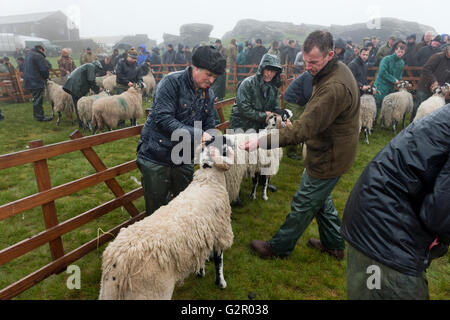 Competitors being judged in The 63rd Tan Hill Open Swaledale Sheep Show 2016, North Yorkshire, UK - Stock Photo