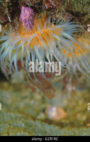 White-tentacled anemones - Stock Photo