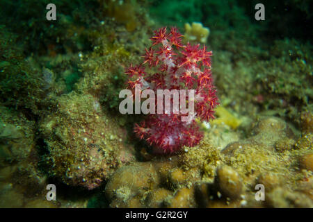 Magenta spiky soft coral, Dendronepthya sp. , from the South China Sea, Coral Triangle, Brunei. - Stock Photo