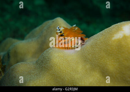 Christmas tree worm, Spirobranchus sp. , on a Porites (pore coral) in the South China Sea, Coral Triangle, Brunei. - Stock Photo