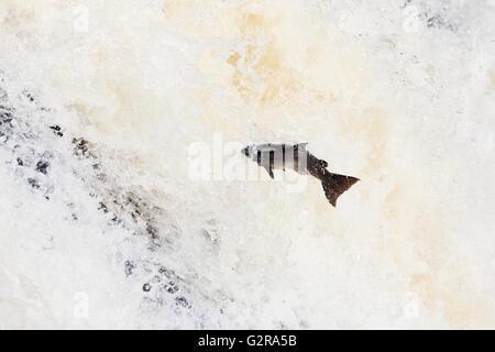 Atlantic salmon (Salmo salar) leaping The Falls of Shin, Falls of Shin, Lairg, Sutherland County, Highland, Scotland - Stock Photo