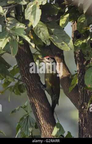 Grey Headed or Grey-faced woodpecker, Picus canus, Sattal, Uttarakhand, India - Stock Photo