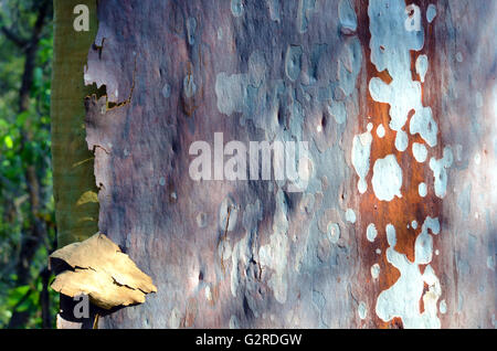 Colorful (purple, grey, red, green) and spotted Australian gum tree (Eucalyptus gumtree) bark in the Australian - Stock Photo