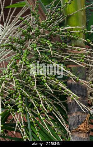 Green unripe acai (Euterpe oleracea) berries attached to the panicle on the palm tree - Stock Photo
