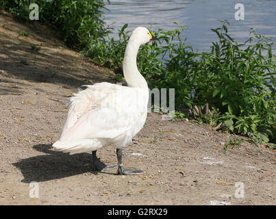Eurasian Bewick's Swan (Cygnus bewickii, Cygnus columbianus bewickii) on the shore of a lake - Stock Photo
